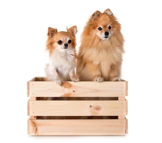 Pomeranian und chihuahua im studio