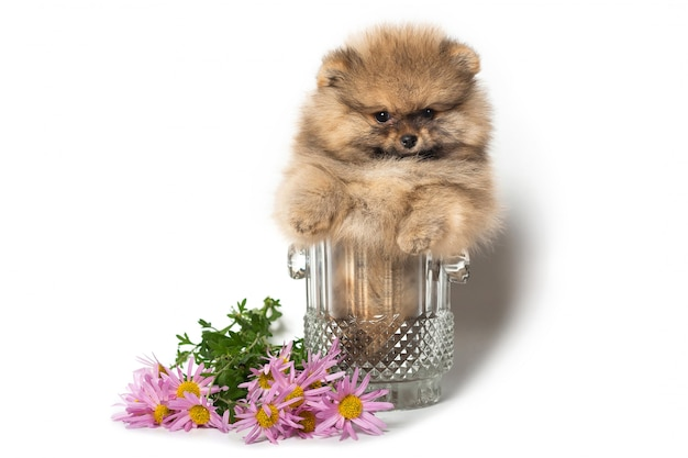 Pomeranian-welpe in einem glasvase