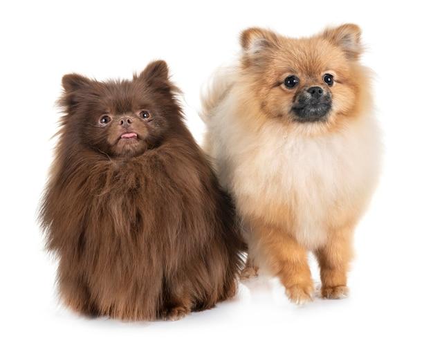 Pomeranians im studio