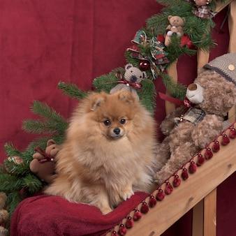 Pommern in der weihnachtsdekoration