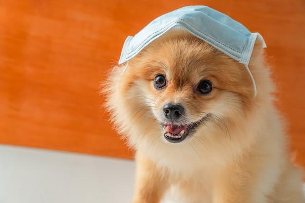 Pommersche hunde kleiner rassen, die eine gesundheitsmaske tragen, sitzen auf einem weißen tisch