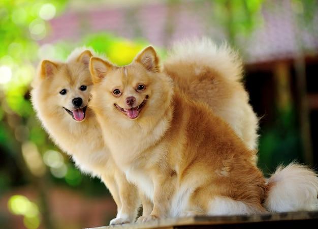 Pommersche spitzhund
