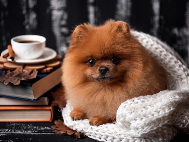 Pommerscher hund in eine decke gewickelt.