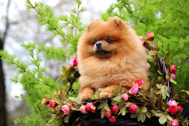 Pommerscher hund in einem park. süßer, schöner hund