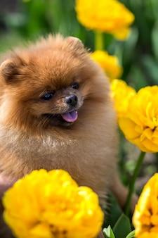 Pommerscher hund in tulpen. hund mit blumen in einem park