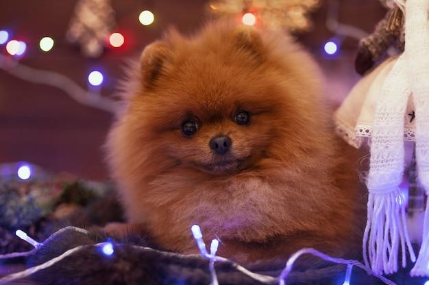 Pommerscher hund in weihnachtsdekorationen auf holzboden. weihnachtshund.