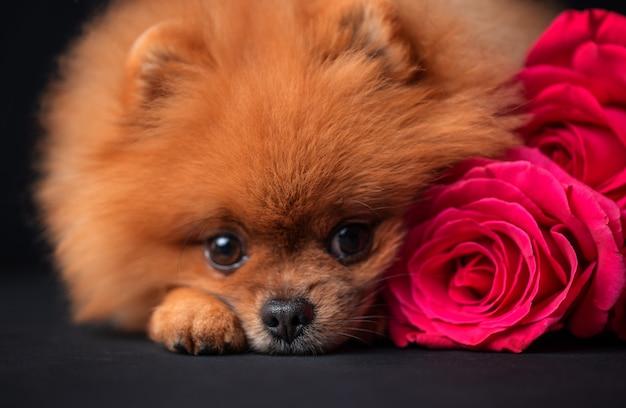 Pommerscher hund mit lila rosen auf dunklem hintergrund. hund mit blumen