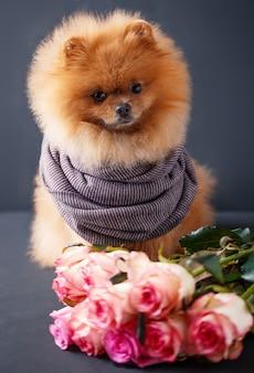 Pommerscher hund mit lila rosen auf dunklem hintergrund. porträt eines hundes in einem zurückhaltenden.