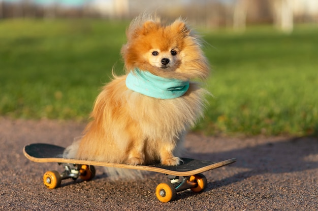 Pommerscher im schal, der im skateboard reitet