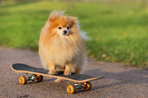 Pommerscher spitz, der im skateboard reitet