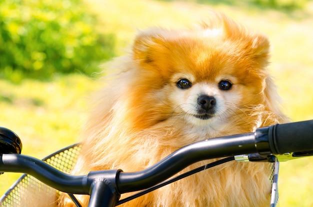 Pommerscher spitzhund, der im sommerkorb im fahrradkorb reist
