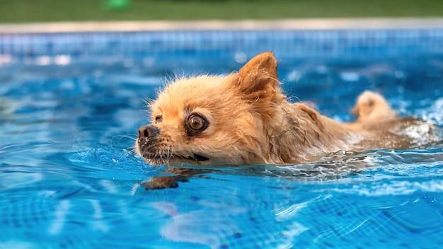 Pommersches schwimmen im pool