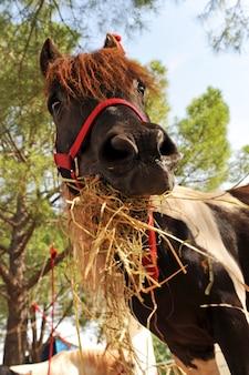 Pony und heu