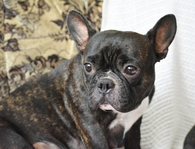 Portait o schöner hund der rasse französische bulldogge.