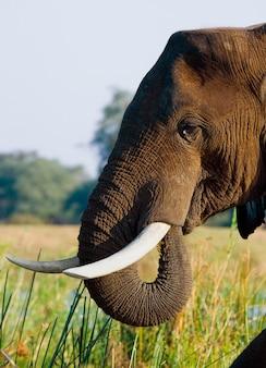 Porträt der elefantennahaufnahme