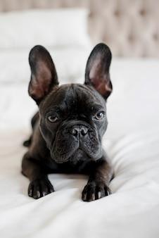 Porträt der entzückenden kleinen französischen bulldogge