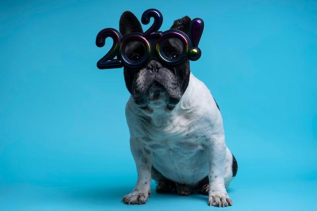 Porträt der französischen bulldogge mit 2020 gläsern