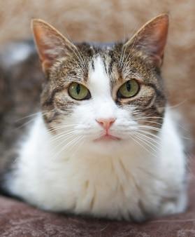 Porträt der gestreiften und weißen katze mit grünen augen