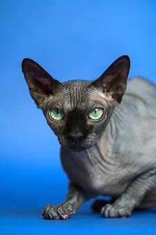 Porträt der haarlosen weiblichen katze der kanadischen sphynx-rasse auf blauem hintergrund