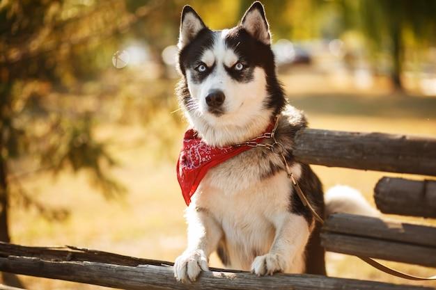 Porträt der herrlichen hunderassen husky im sommertag