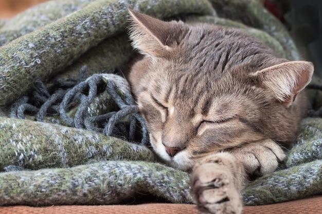 Porträt der inländischen getigerten grauen katze, die unter einer decke ruht