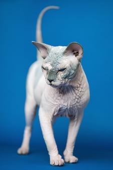 Porträt der kanadischen sphynx-katzenrasse, die für ihren fellmangel auf blauem hintergrund bekannt ist
