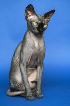 Porträt der kanadischen sphynx-katzenrasse, die für ihren mangel an haarlosen katzen auf blauem hintergrund bekannt ist