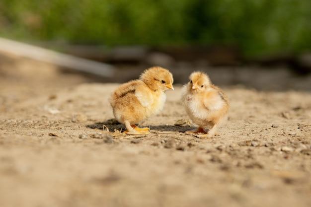 Porträt der kleinen flauschigen osterhühner, die im hof auf dem hof an einem sonnigen frühlingstag gehen