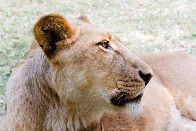 Porträt der löwin