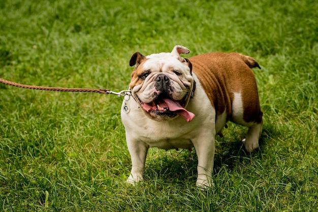 Porträt der niedlichen englischen bulldogge am park.