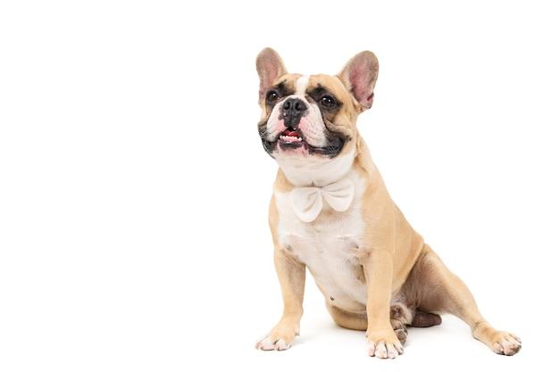 Porträt der niedlichen französischen bulldogge tragen weiße fliege und sitzen lokalisiert auf weißem hintergrund, haustieren und tierkonzept.