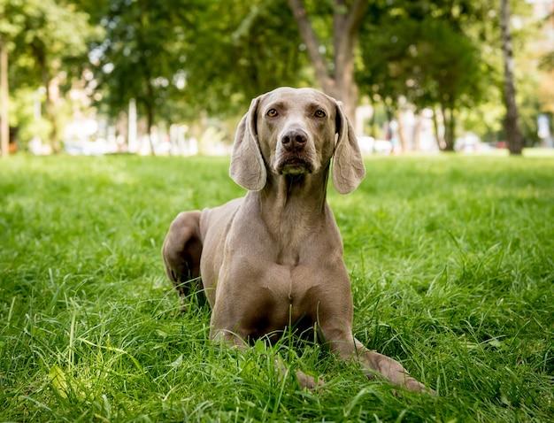 Porträt der niedlichen weimaraner hunderasse im park