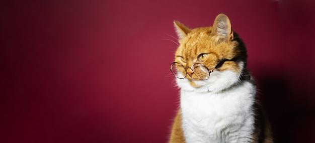 Porträt der orange weißen katze, die runde brillen auf roter oberfläche trägt