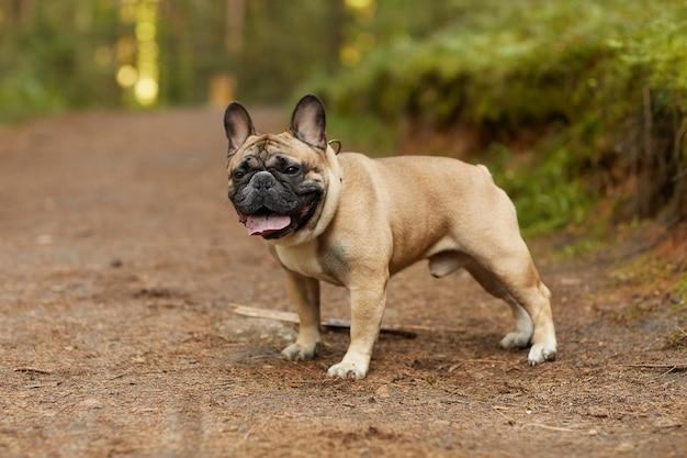 Porträt der reinrassigen französischen bulldogge, die im wald draußen geht