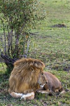 Porträt der schönen löwensavanne von afrika