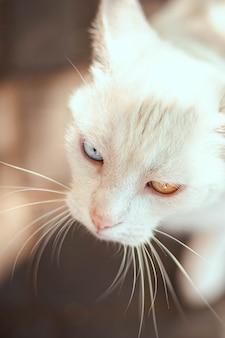 Porträt der schönen weißen katze mit verschiedenfarbigen augen mit einem langen schnurrbart. heterochromie