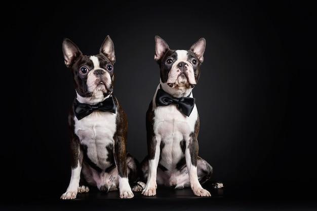 Porträt der schwarzen und weißen welpen der französischen bulldogge, die fliege auf schwarz tragen