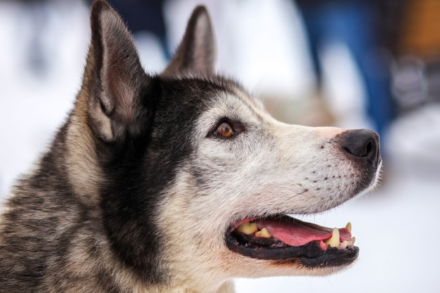 Porträt der sportschlitten-husky-hundenahaufnahme. working mushing dogs des nordens.
