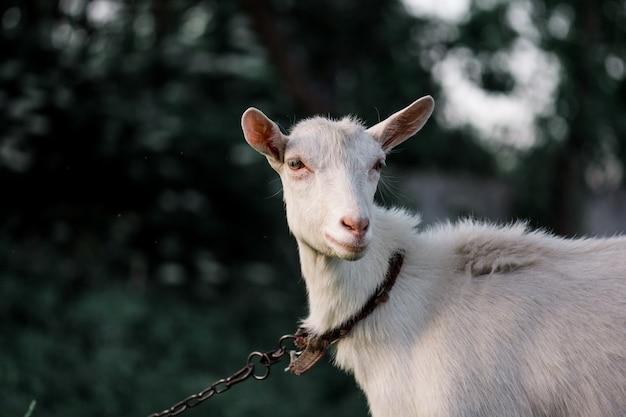 Porträt der weißen erwachsenen ziege, die auf einer farm der tiere mit gras bedeckt