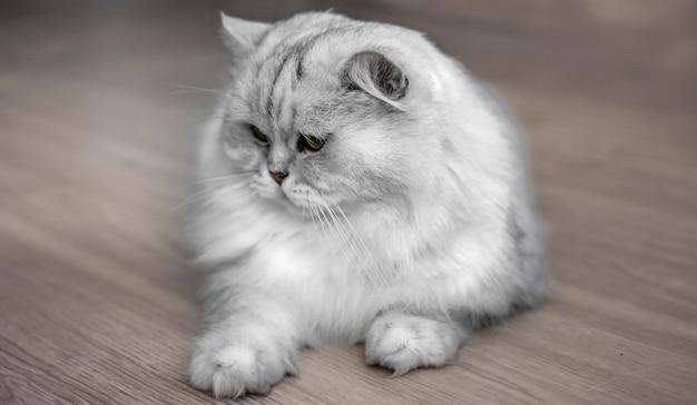 Porträt der weißen katze mit gelben augen. katze liegt auf dem boden. graues haustier.