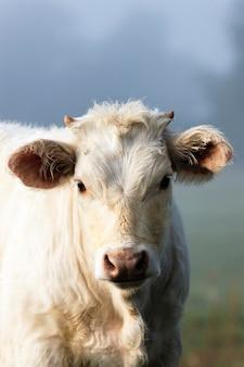 Porträt der weißen kuh ein nebel im herbst