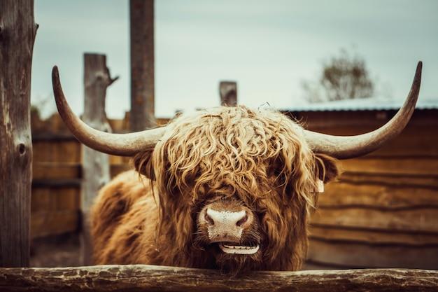 Porträt der wilden kuh am zoo