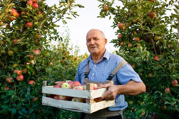 Porträt des älteren mannes, der kiste voller äpfel im obstgarten hält