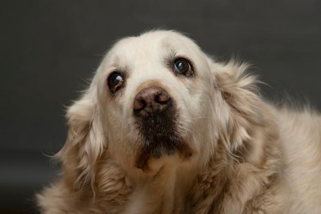 Porträt des alten hundes, der kamera en fondo gris betrachtet