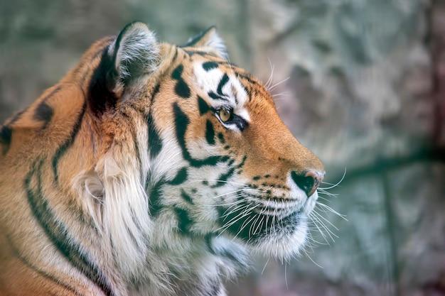 Porträt des amur-tigers beim lecken
