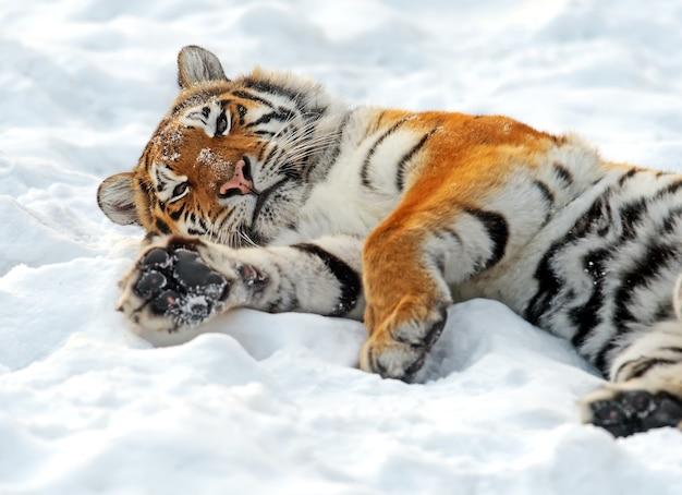 Porträt des amur-tigers im winter