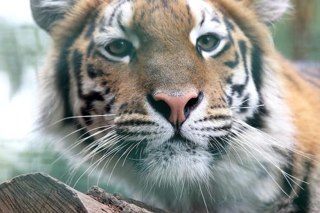 Porträt des amur-tigers