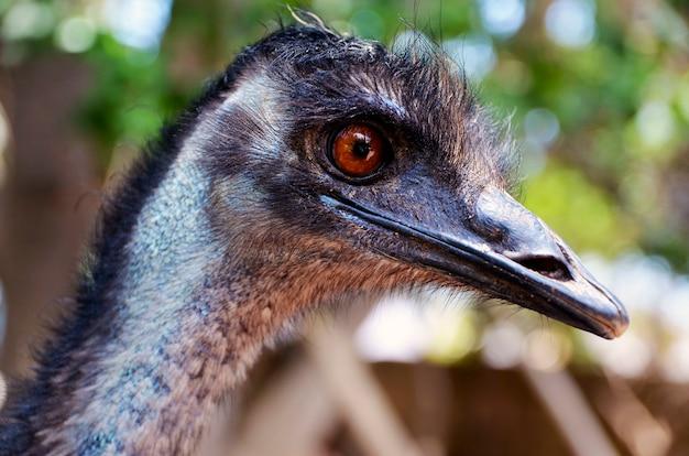 Porträt des australischen emuvogels (dromaius novaehollandiae). ansicht des kopfes und des halsabschlusses eines emus oben. natur- und tierkonzept.