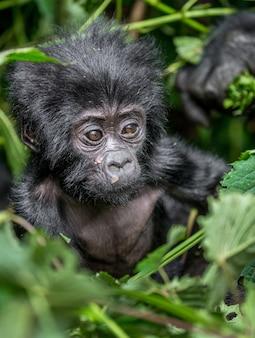 Porträt des baby-berggorillas. uganda. bwindi impenetrable forest national park.