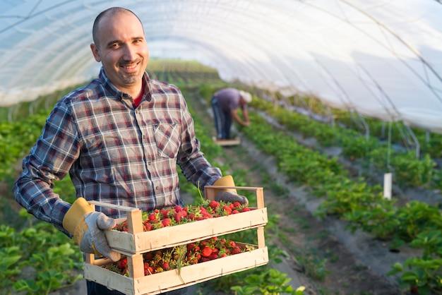Porträt des bauern, der kiste voll von erdbeerfrüchten im gewächshaus hält